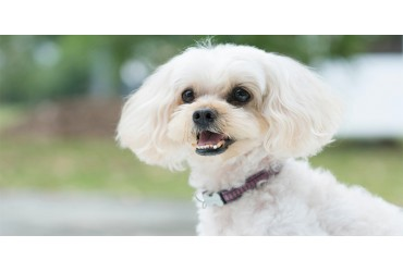 All About Shih-Poos