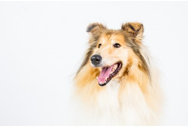 All You Need To Know About Rough Collie