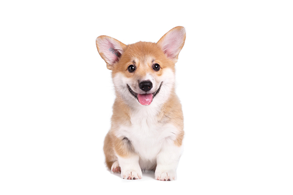 Buy Corgi Puppy