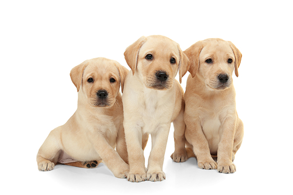 Buy Labrador Puppy