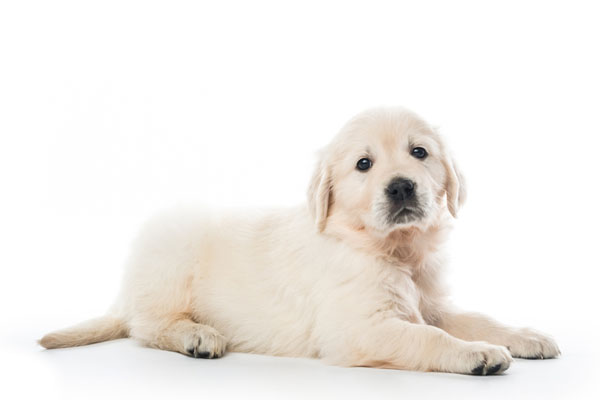 Buy Golden Retriever Puppy