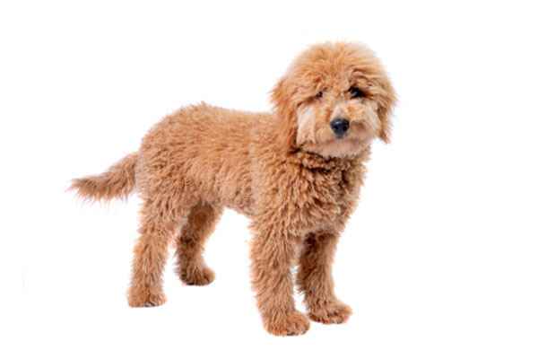 Buy Goldendoodle Puppy