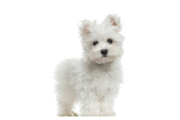Buy Maltese Puppy